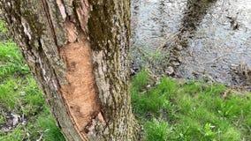 Filtre de un árbol muerto devastado por el agril del roble almacen de video
