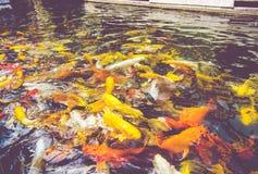 Filtre de vintage : Foule des poissons de Koi dans l'étang, dos naturel coloré Images libres de droits