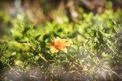 Filtre de vintage de ketmie orange rosa-sinensis photographie stock libre de droits