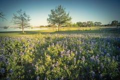 Filtrerad bild av Bluebonnet f?r Texas tillst?ndsblomma som blommar n?ra sj?n i v?r arkivbilder