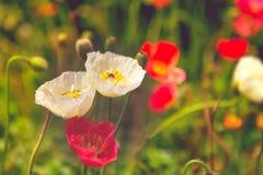 Filtro anti-ruidos del grano de la flor de la amapola con la abeja en la flor blanca Fotografía de archivo libre de regalías