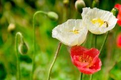 Filtro anti-ruidos del grano de la flor de la amapola con la abeja en la flor blanca Imagen de archivo libre de regalías