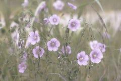 Filtro da aquarela aplicado à imagem de flores de Lewis Flax; imagem de stock