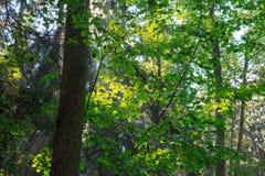Filtro de la luz del sol a través de las hojas del hazelwood Foto de archivo libre de regalías