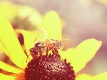 Filtro del vintage de la abeja ocupada Imagenes de archivo