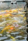 Filtro del vintage: Pescados de Koi en la charca, fondo natural colorido, Fa Imagenes de archivo