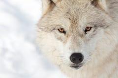 Fim ártico adulto do lobo acima Imagens de Stock
