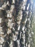 Fim áspero, sulcadas da casca de árvore acima fotografia de stock royalty free