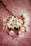 Flores de cerejeira Imagens de Stock