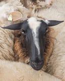 Fim-acima da cabeça de um carneiro fotografia de stock royalty free