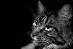 Cara do gato cinzento Imagens de Stock