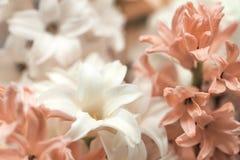 Fim acima da cor cor-de-rosa branca do pó da flor bonita macia macro do jacinto flores tradicionais do casamento de easter, flor fotografia de stock royalty free