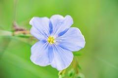 Fim acima da flor azul bonita do linho que floresce no campo imagem de stock