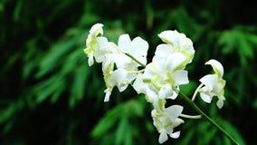 Fim acima da flor branca bonita da orquídea que floresce no jardim filme