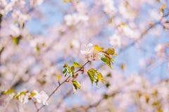 Fim acima da flor de sakura, flor de cerejeira, ?rvore de cereja em um fundo borrado do c?u azul fotografia de stock royalty free