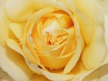 Fim acima da fotografia macro de uma rosa amarela em tiro detalhado da flor recolhido o Reino Unido foto de stock