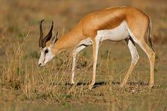 Fim-acima da gazela que anda no grama-campo Fotos de Stock Royalty Free