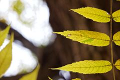 Fim acima da peça de uma folha composta da noz no outono/queda Foto de Stock