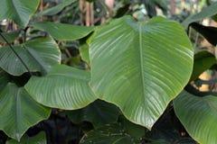 Fim acima da planta gigante de Daniellii do Thaumatococcus de Marantacea do africano das FO que contém as proteínas intensamente  fotografia de stock royalty free