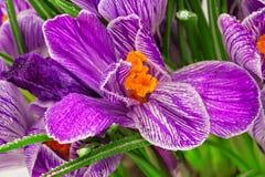 Açafrão da mola do Lilac Imagem de Stock Royalty Free