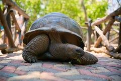 Fim acima da tartaruga gigante da terra que come as folhas na boca Fotos de Stock Royalty Free