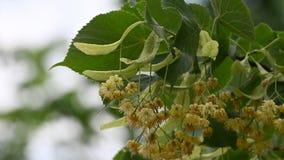 Fim acima das flores amarelas da árvore de Linden na flor filme