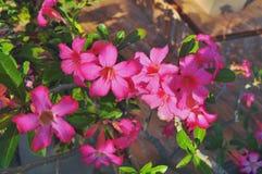 Fim acima das flores do Adenium na natureza foto de stock royalty free
