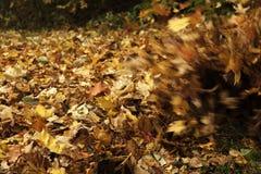 Sopro das folhas da queda Foto de Stock Royalty Free
