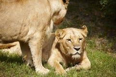 Fim-acima das leoas imagem de stock royalty free