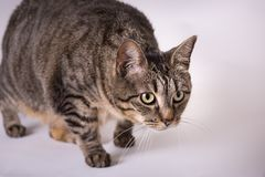 Fim acima das suiças longas eyed largas do gato doméstico no ataque foto de stock