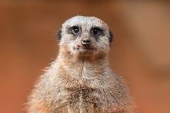 Fim-Acima de Meerkat Fotografia de Stock Royalty Free