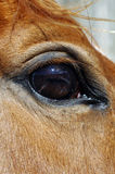 Fim acima de um cavalo Fotografia de Stock Royalty Free