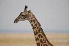 Fim-acima de um girafa Fotografia de Stock