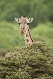 Fim-acima de um girafa Imagem de Stock Royalty Free
