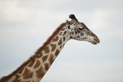 Fim-acima de um girafa Imagens de Stock Royalty Free