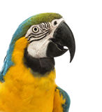 Fim-acima de um Macaw Azul-e-amarelo, ararauna da vista lateral do Ara, 30 anos velho Imagem de Stock