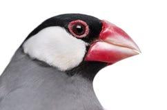 Fim-acima de um oryzivora do Padda do pardal de Java Fotos de Stock Royalty Free