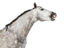 Fim-acima de uma cabeça andaluza, 7 anos velha, fazendo uma face, esticando seu pescoço, igualmente conhecido como o cavalo espanh Fotografia de Stock