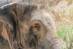 Fim acima do banho de sol fêmea novo bonito e do relaxamento do elefante asiático no sol da manhã Únicos clo do retrato da cara d imagens de stock