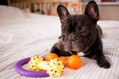 fim acima do buldogue francês rajado que joga com seus brinquedos na cama imagens de stock