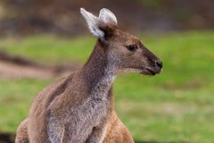 Fim acima do canguru poderoso imagens de stock royalty free
