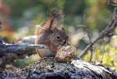 Fim-acima do esquilo vermelho Fotografia de Stock Royalty Free