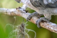 Fim acima do p? cinzento africano do papagaio do beb? com o anel de prata do c?rculo foto de stock royalty free