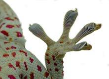 Fim acima do p? e dos dedos do geco no fundo branco fotos de stock