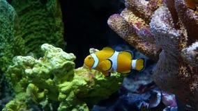 Fim acima do palhaço bonito Anemonefish dos peixes no aquário na decoração do fundo das plantas aquáticas video estoque