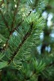 O ramo novo do pinho com chuva deixa cair em agulhas Imagem de Stock
