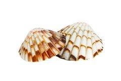 Fim acima do shell do oceano isolado no fundo branco imagens de stock