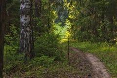 Fim acima do tronco e do trajeto de árvore do vidoeiro no caminho da floresta nas madeiras imagens de stock royalty free