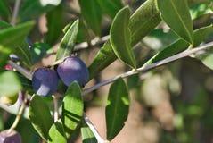 Fim acima dos frutos naturais maduros frescos das azeitonas fotografia de stock royalty free