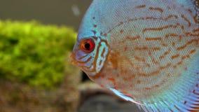 Fim acima dos peixes azuis do disco em um aquário de água doce no fundo verde da alga, visto do lado filme